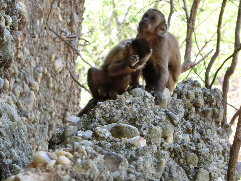 Capuchins Observed Making Flakes
