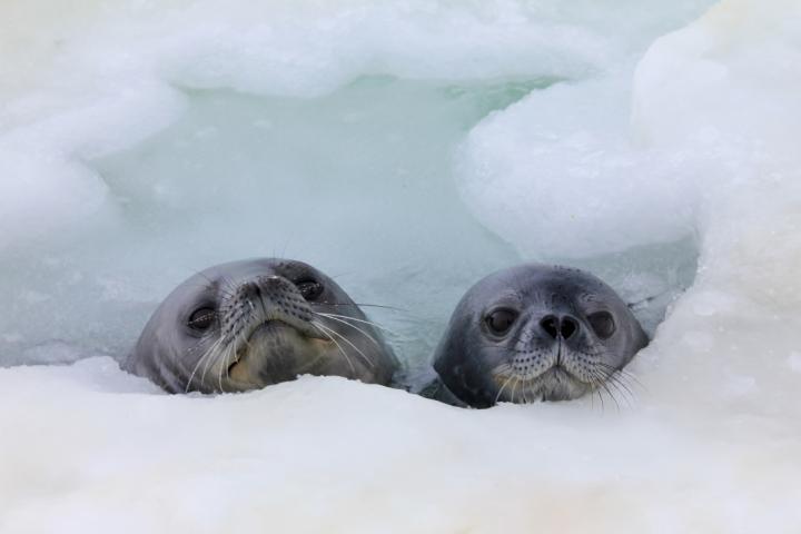 Weddell Seals in a Breathing Hole
