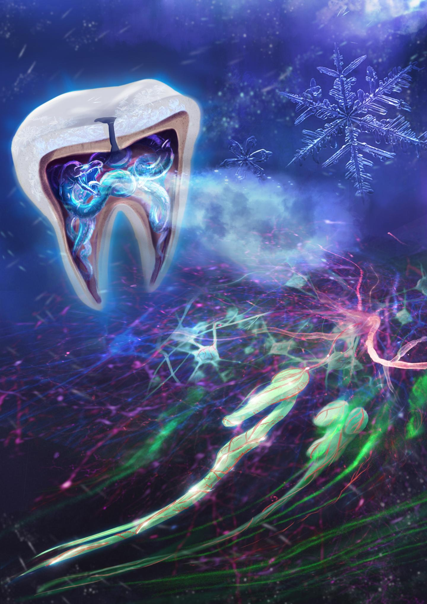 Researchers discover why cold induces tooth pain and hypersensitivity--and how to stop it