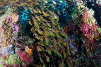 Golden Sweepers (Parapriacanthus ransonneti) swim through a coral reef in Palau