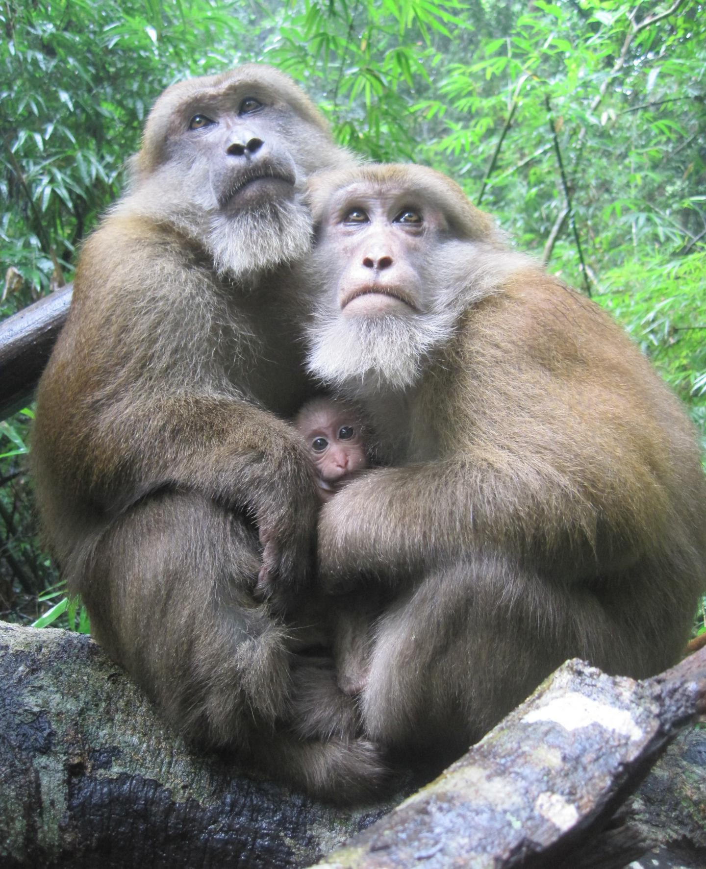 Two Male Assamese Macaques with An Infant