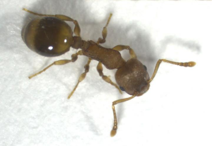 Temnothorax nylanderi