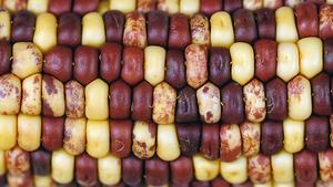 McClintock Corn
