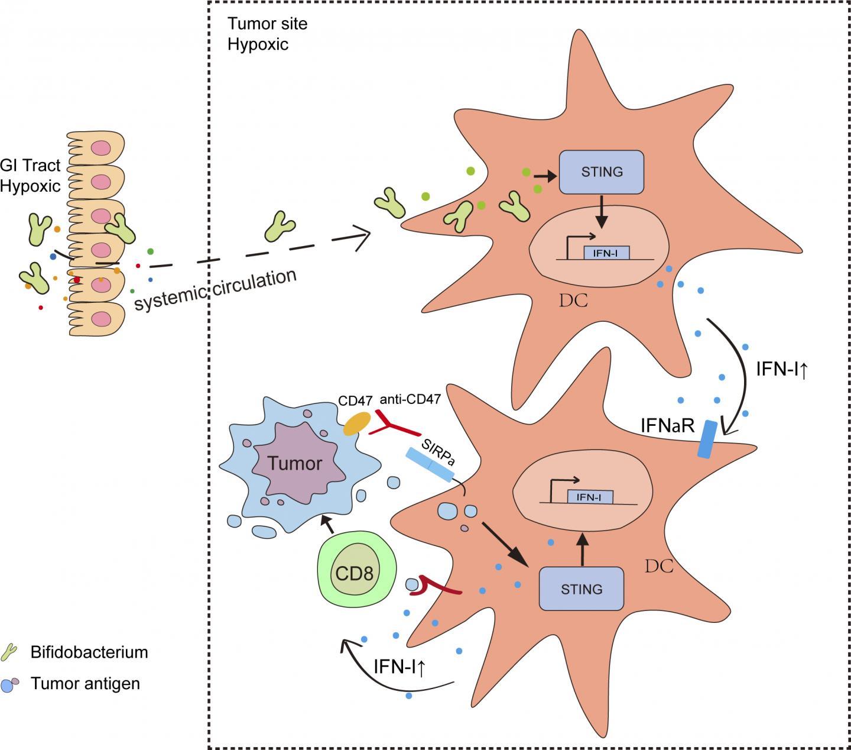 Bifidobacteria Activate An Immune Response within Tumors