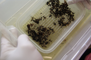 Insect sample