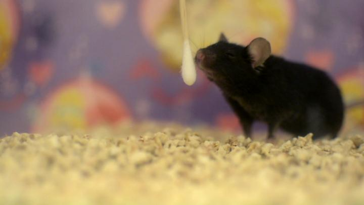 Mouse Sniffing Cotton Swab for Memory Recall