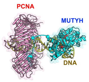MUTYH and PCNA cooperate to repair DNA