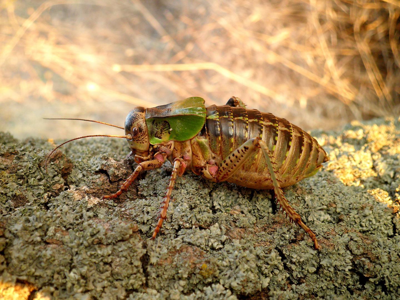Big-bellied glandular bush cricket (Bradyporus macrogaster)