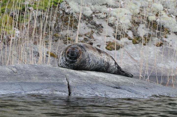 Saimaa Ringed Seal