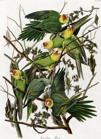 Carolina Parakeets, Illustration