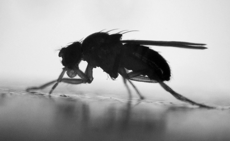 Common Fruit Fly, <em>Drosophila melanogaster</em>