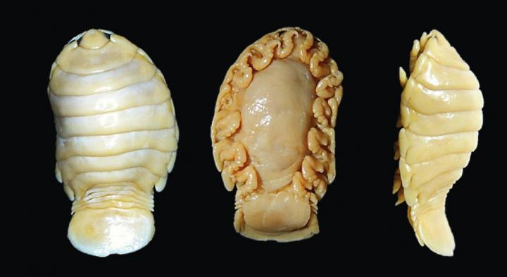 Egg-Carrying Female (Holotype)