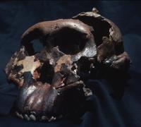 Skull of 'Nutcracker Man' or <i>Paranthropus boisei</i>