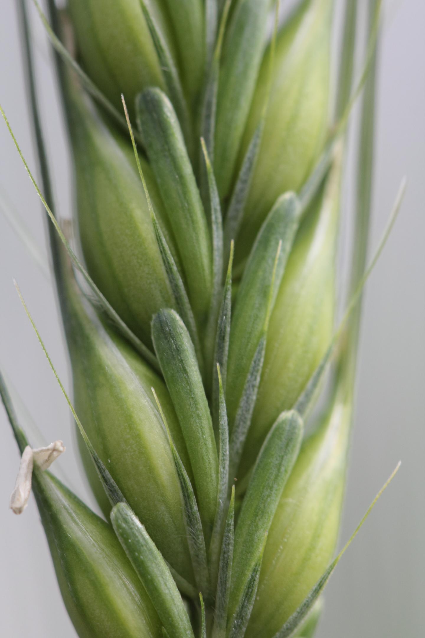 New Link Between Key Enzymes in Barley Grain and Malt