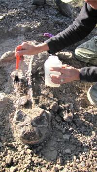 Fossil Lystrosaurus