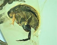 <i>A. burmitina</i> in Amber (Close Up)