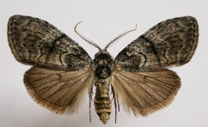 The Gum-Leaf skeletoniser Moth