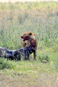Buffalo Being Attacked by Lions in Serengeti National Park (2 of 2)