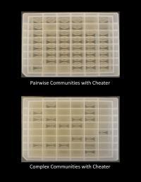 Trays of Yeast