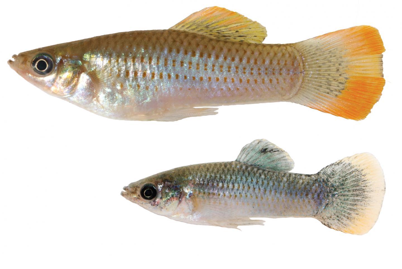 Poecilia mexicana fish