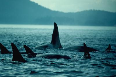 Killer Whale Pod from Eastern North Pacific