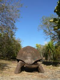 Aldabra Tortoise (<I>Aldabrachelys gigantea</I>) (2 of 3)