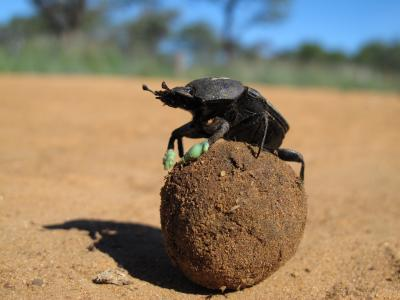 Dung Beetle with Boots On