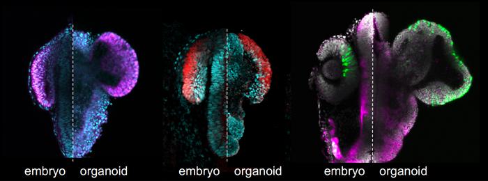 Retinal organoids