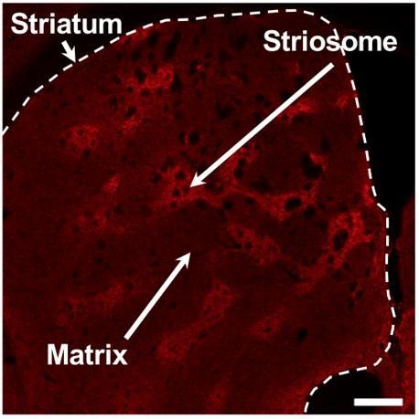 The Structure of the Striatum