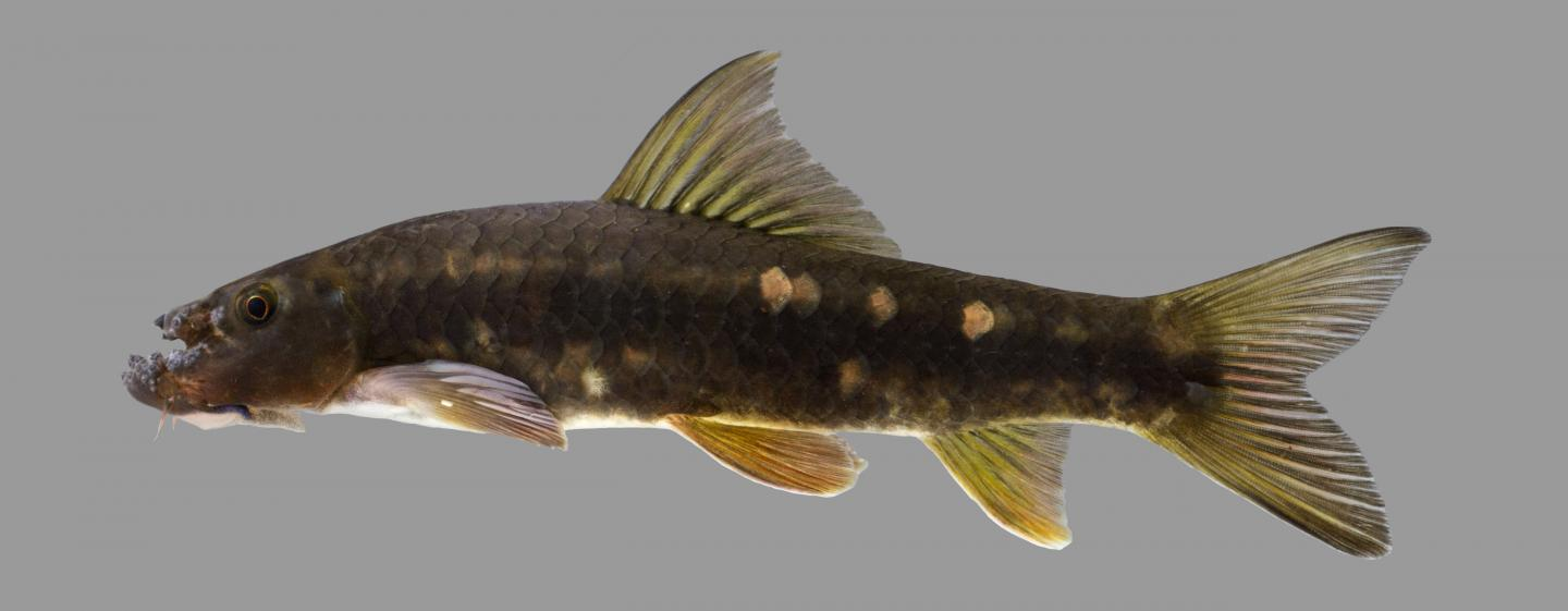 Bizarre-Looking Minnow Sports Deeply Grooved Forehead