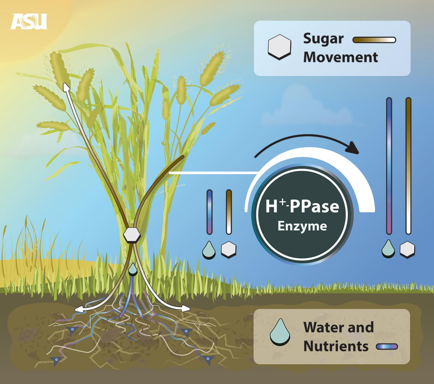 Crop Production Improved with New Biotechnology Created by ASU Researcher