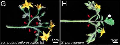 A Molecular Clock Controls Branching Architecture