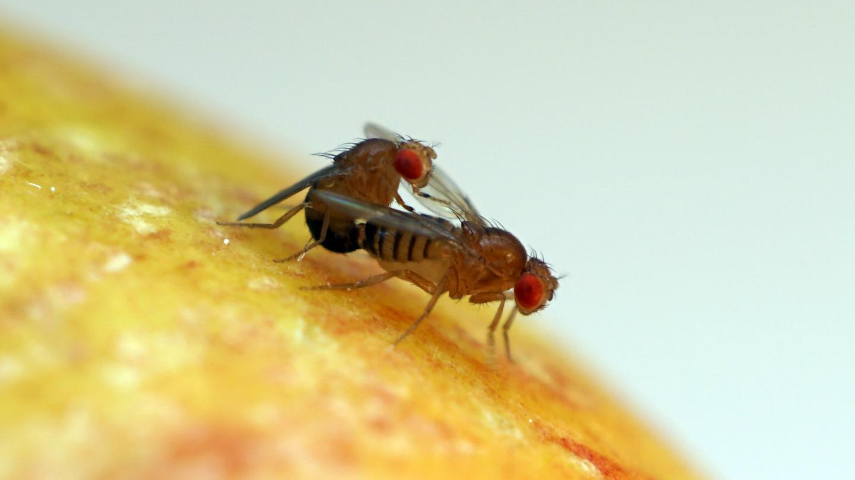 <i>Drosophila</i>