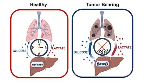 circadian control of glucose production
