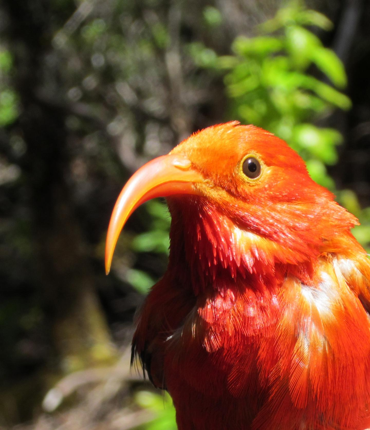 'I'iwi, a Bird Native to the Hawaiian Islands