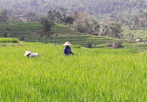 Rice Farmers In Lush Green Fields