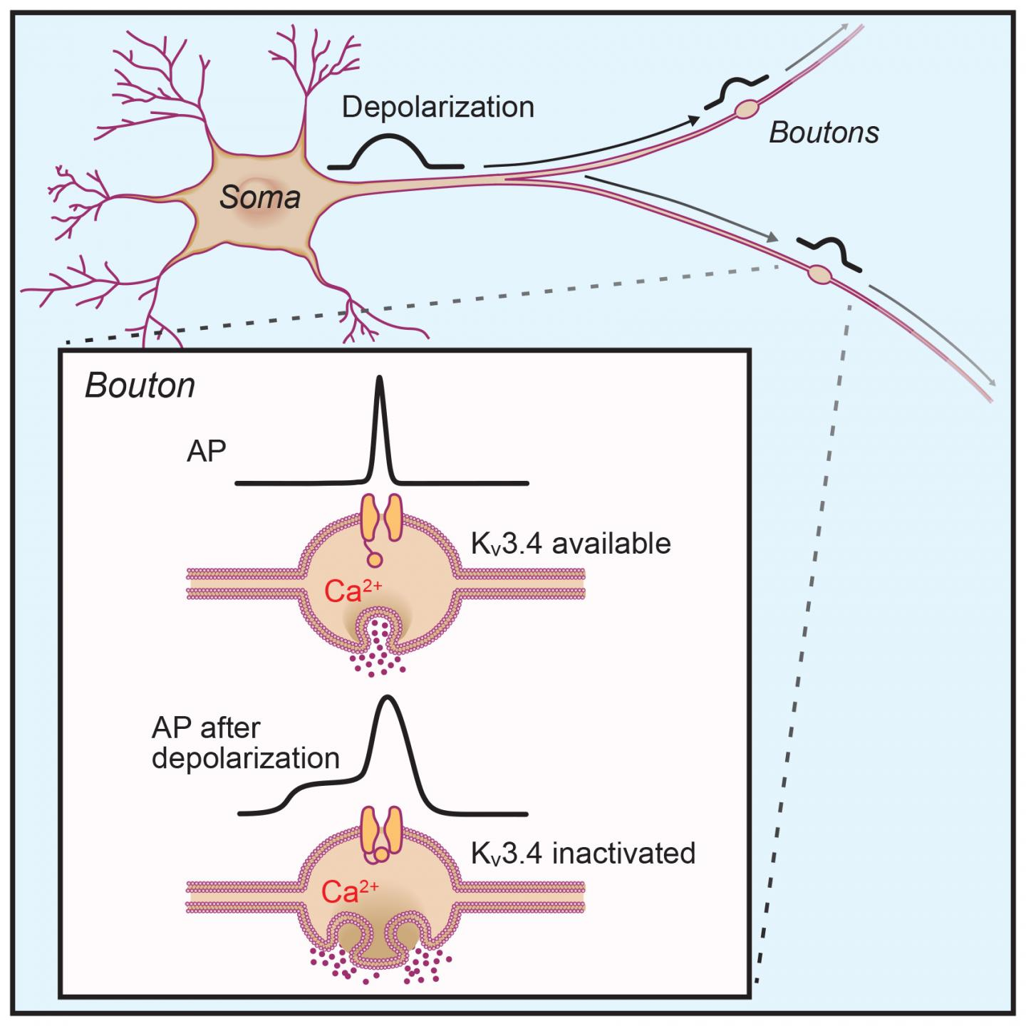 Short-Term Neuronal Plasticity Can Result From Inactivation of Kv3 Channels