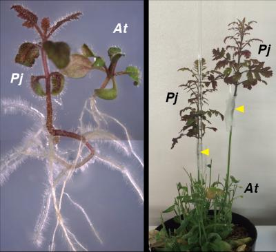Parasitism and Heterospecific Grafting of P. japonicum