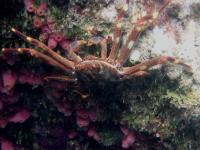 The Invasive Sally Lightfoot Crab, Percnon Gibbesi, in Malta