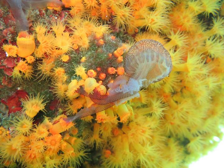 Jellyfish-Eating Corals