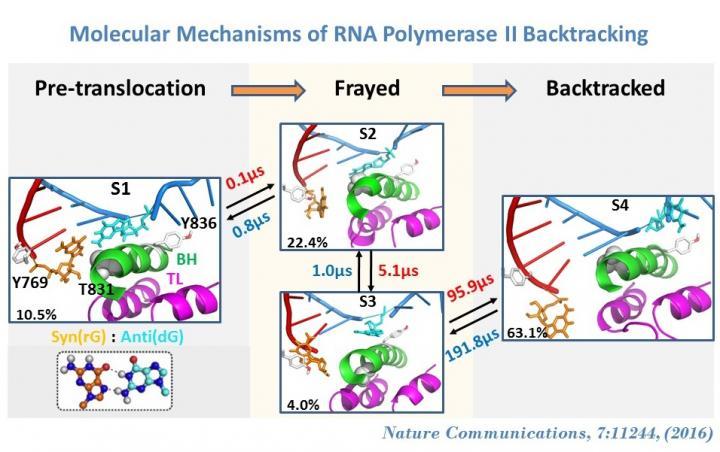 Backtracking in RNA Pol II EC Follows a Stepwise Model