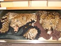 Leopard Parts Common in Illegal Trade