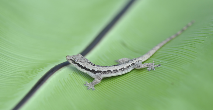 Asian flat-tailed house gecko
