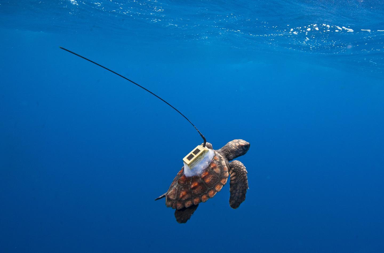 Loggerhead Turtles South Atlantic