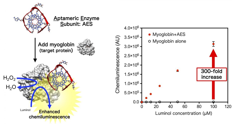 The Aptameric Enzyme Subunit Enhances Myoglobin-Derived Peroxidase Reaction
