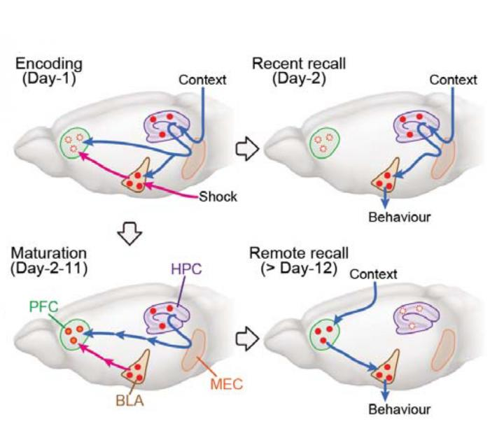 A New Model for Systems Consolidation of Memory