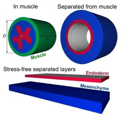 Growth in Muscle Layers Causes Wrinkling