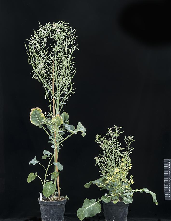 Gene Edited and Wild-Type Brassica Plant