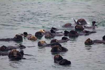 Rafting Sea Otters