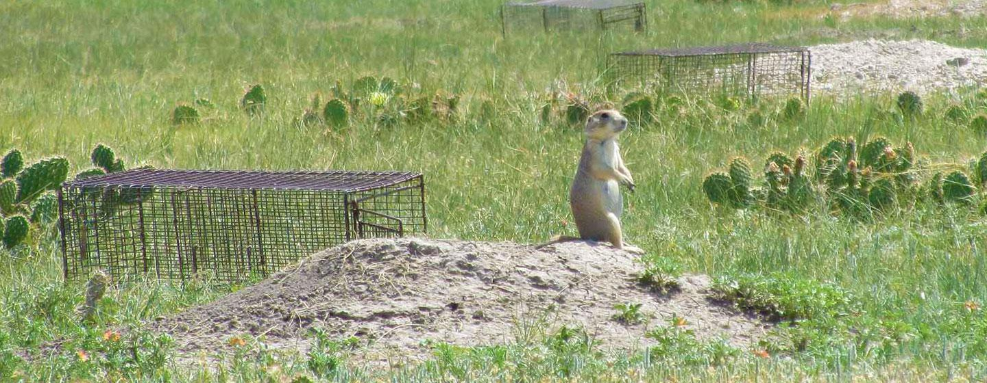 Prairie Dog in Front of Prairie Dog Trap with Sylvatic Plague Vaccine Bait.